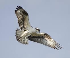 ospreyflight